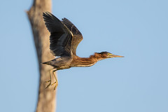 Pole Position (gseloff) Tags: greenheron bird bif wildlife horsepenbayou pasadena texas kayakphotography gseloff
