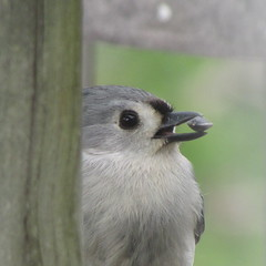 A titmouse and his prize (rkayeo72) Tags: feeder tufted titmouse birds