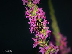 Bumblebee on purple loosestrife (don.white55 Thanks a million..) Tags: bumblebee boringbeexylocopavirginica wildwoodlake harrisburgpennsylvania donwhite donpwhitephotography canone0s7od canoneos70dtamronsp150600mmf563divcusda011 thatswildnaturephotography tamronsp150600mmf563divcusda011 tamron150600mm flower invasiveplant insect bee bug harrisburgwildlife habitat plant wings pollen pollencollecting nature outdoors pennsylvaniawildlife pennsylvaniacanal pennsylvania swamp scenic serene wildlife