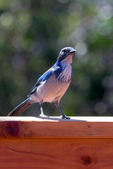 IMG_6323 (armadil) Tags: backyard bird birds jay jays scrubjay scrubjays