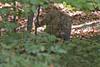 HJ__HJ09969_12 september 2016 (hughjansman) Tags: bwaldtiergehege wildekat