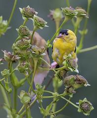 Chardonneret jaune --- American goldfinch --- Canario salvaje (Jacques Sauv) Tags: chardonneret jaune american goldfinch canario salvaje oiseau bird ave pjaro eastern canari sauvage