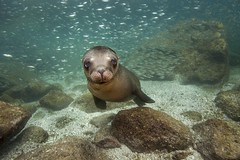 California Sea Lion - Baja California Sur, Mexico (James R.D. Scott) Tags: mexico underwater bajacalifornia sealion marinelife californiasealion pinniped
