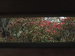 red bloom (sogni_hal) Tags: red flower fleur garden rouge spring bloom printemps