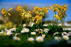 Cowslips 2 (Liam Skelly) Tags:
