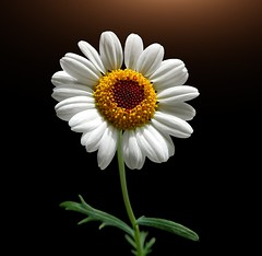 Quite simply (*Gitpix*) Tags: flowers light white flower color macro nature closeup licht petals nikon blossom natur blumen fresh clean coolpix sauber neat marguerite simply blume simple makro blte weiss bltenbltter nahaufnahme gettyimages farben blten frisch margerite schick margeriten einfach schlicht margueriten quitesimply neatandclean schlichtundeinfach