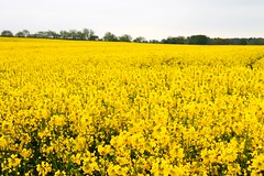 orrell water gardens (smile-a-while) Tags: flowers nature field yellow spring crops rapeseed orrellwatergardens