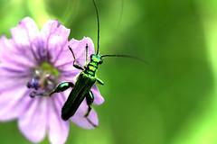 Oedemera Nobilis - 6959 (MikeC4u) Tags: insect coleoptera nobilis oedemera