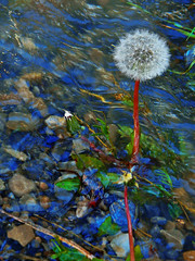 Another Dandelion in a Flood Stream (LostMyHeadache: Absolutely Free *) Tags: light sky sun flower nature water leaves spring nikon rocks flood dandelion flooded davidsmith natuer calgaryalbertacanada