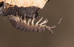 Hanging Around (*KarenT*) Tags: garden upsidedown walnut lincolnshire bark oldwood woodlouse
