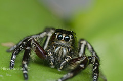 Hyllus Diardi (Male) (Zeen.) Tags: portrait hairy macro nature face nikon singapore arachnid insects bugs eight arachnology arthropod macrophotography zeen salticid 105mm salticidae hirzi d7000
