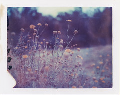 wildflowers of san diego (daveotuttle) Tags: flowers sandiego packfilm 669film polaroid669 polaroid195