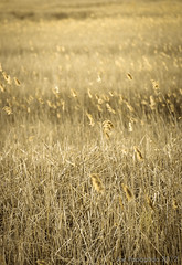 (Joe Papagoda) Tags: flowers sunset plants nature field grass effects photography golden photo nikon dof wheat joe aged d300 80200mm28 lr4 papagoda