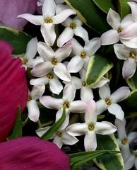 54285-04 Daphne x burkwoodii 'Carol Mackie' (horticultural art) Tags: flowers daphne horticulture daphnexburkwoodiicarolmackie horticulturalart