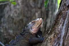 Happy iguana (@nico_b) Tags: iguana iguane frenchwestindies iletchancel