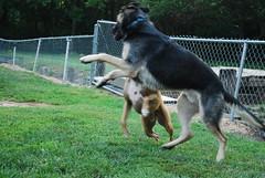 look for part 2 (aerofan245) Tags: birthday dog 3 dark shepherd sage german batman knight batdog gsd