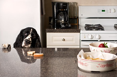 Billy begging for food (nmariephoto) Tags: lighting food chicago dogs advertising funny humor naturallight commercial expressive 2012 adcampaigns englishspaniel seniordog nicolemarie animalphotographer