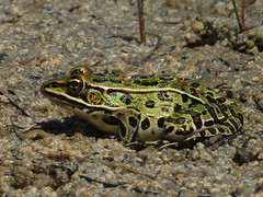 Northern Leopard Frog, Rana pipiens (3) (Herman Giethoorn) Tags: frogs amphibians