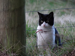 Happy Fenced Friday (Home Land & Sea) Tags: newzealand blackandwhite cat fence nz napier sonycybershot hawkesbay paddock hff fencedfriday homelandsea dschx100v