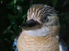 Kookaburra (oldandsolo) Tags: singapore kingfisher jurongbirdpark kookaburra photopoint birdphotography laughingjackass junglejewelsexhibit australiankokaburra