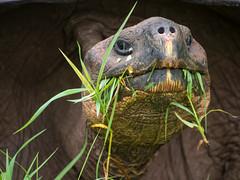 Galpagos tortoise (wesbran) Tags: santacruz islands ecuador galapagos galpagos galpagostortoise archipilagodecoln islasgalpagos galpagosgianttortoise islasdecoln chelonoidisnigra photocontesttnc12