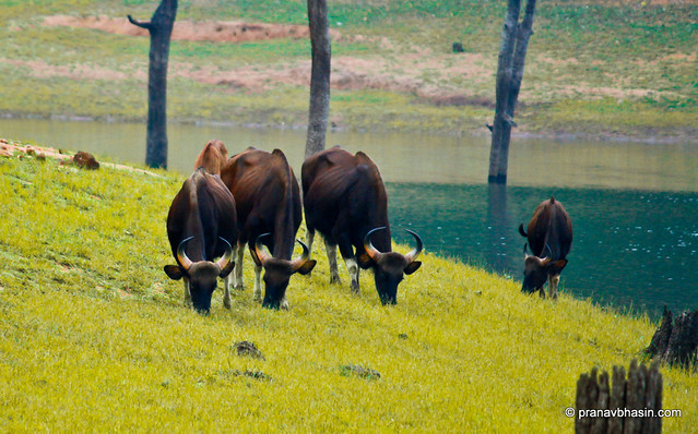 Gaur Grazing On The Banks, At Periyar Tiger Reserve, Thekkady