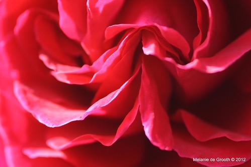 Inner Red Rose