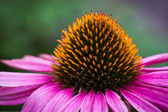 Coneflower (schamis) Tags: pink flowers flower coneflower canonef100mmf28lmacroisusm