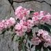 Kalmia latifolia, Great Falls Park, 5-7-12