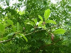 Prunus cocomilia Ten. 1811 (ROSACEAE) (helicongus) Tags: spain prunus rosaceae jardnbotnicodeiturraran prunuscocomilia