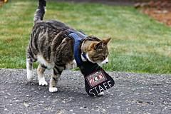 Chester, Official Zoo Staff (Neva Swensen) Tags: cat bib kitty chester zoostaff catbib zookitty