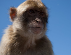gibraltarjul12-127 (thevisualeffect.com (JD Malave)) Tags: family animals spain espana therock gibraltar canondslr apes lalinea barbarymacaque tamron2875mmf28 canon1dsmarkii straitsofgibraltar jdmalave wwwthevisualeffectcom