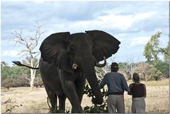 Meeting Big Vic_ Stretch and Vicky (momathew) Tags: africa elephant safari zimbabwe manapools goliathsafaris