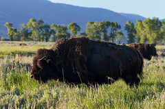 Morning Bison Encounter Grand Teton National Park (wellscenephotography (ON)) Tags: park morning light wild summer usa mountain history animal photo buffalo power profile meadow grand national american strength wyoming teton bison 2012