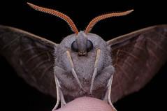 On My Thumb! (Johan J.Ingles-Le Nobel) Tags: lepidoptera extrememacro poplarhawkmoth laothoepopuli canonmpe65 extrememacrocouk