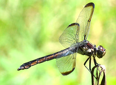 Slaty Skimmer - Libellula incesta (jwinfred) Tags: macro nature mississippi nikon sigma insects delta cypress preserve greenville 150mm d5100