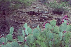 Blackett's Ridge (dennyforreal) Tags: arizona cactus rabbit tucson pricklypear sabinocanyon blackettsridge