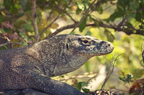 young male komodo dragon