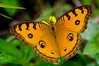 Peacock Pansy (d_smets) Tags: bali nature butterfly indonesia wildlife natuur papillon mariposa indonesië vlinder andersreizen tamron18200 junoniaalmana peacockpansy pentaxk7 allofnatureswildlifelevel1 allofnatureswildlifelevel2 allofnatureswildlifelevel3 allofnatureswildlifelevel4 allofnatureswildlifelevel5 unlimitedinsectslevel1 unlimitedinsectslevel2 unlimitedinsectslevel3 unlimitedinsectslevel4 unlimitedinsectslevel5 unlimitedinsectslevel6