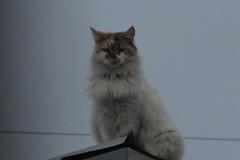 EN EL TEJADO (Jortrejo) Tags: cat gatos callejeros