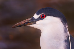 Black-Crowned Night Heron (Cruzin Canines Photography) Tags: california wild portrait color bird heron nature birds animal animals closeup canon outside outdoors zoo wildlife naturallight calm telephoto wildanimal tamron bakersfield naturepreserve blackcrownednightheron kerncounty californialivingmuseum 5ds canon5ds eos5ds tamronsp150600mmf563divcusd canoneos5ds