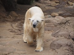 Tsuyoshi (EmilyOrca) Tags: polar bear zoo animal white walk around water exhibit rock marine mammal body