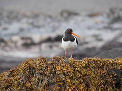 Haematopus ostralegus (Tanguy Martinez) Tags: haematopus ostralegus iceland bird nature coast sea