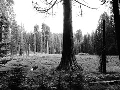 the survivor... (BillsExplorations) Tags: survivor tree sequoianationalpark sequoia redwoods meadow forest giant strong tall bigtreestrail trail hiking blackandwhite monochrome