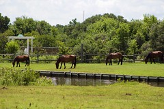4 Wild Horses OBX (Cruz'n2Victory) Tags: obx wildhorses carolla