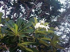 Holiday Bungalow, Padaviya Wewa (Malka001) Tags: padaviya wewa tree trees bangalow water flower flowers white araliya
