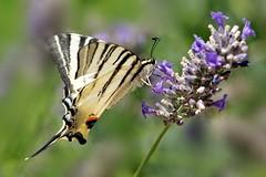 Podalirio al vento (luporosso) Tags: natura nature naturaleza naturalmente nikond300s nikon farfalla farfalle butterfly butterflies podalirio fiori fiore flowers fleur flor flores flovers mariposa borboleta