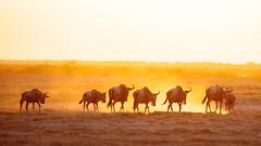 Sunset march (J C Mills Photography) Tags: wilderbeest gnu safari africa kenya amboseli national park sunset light dust plains animals golden