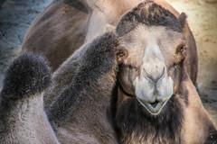 Portrait (castier) Tags: bactriancamel chameaudebactriane herbivore herbivorous saintfelicien mammifere zoo saintflicien qubec canada ca mammal