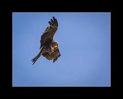 Black kite 2 (tkimages2011) Tags: preston black kite blackkite bird feeding blue sky birdofprey turbary turbaryowlandbirdofpreysanctuary sanctuary wing